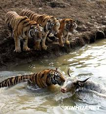 prison yak ends up in tigers stomach 2 s daily