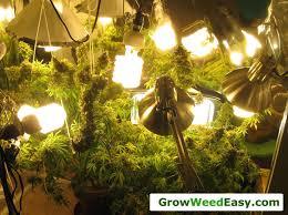 Grow Room Lights Easy Beginner Grow Cannabis Guide W Cfl Grow Lights How To Grow