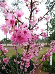 taiwan flowering cherry ornamental plant of the week for january
