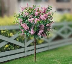 cottage farms ornamental lilac tree page 1 qvc