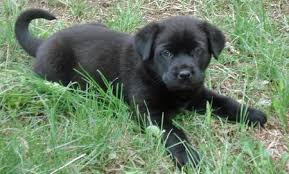 australian shepherd mastiff mix stella the mastiff mix puppies daily puppy