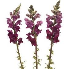 snapdragon flowers burgundy flower
