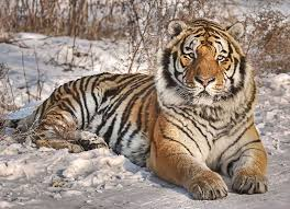 siberian tiger 21 siberian tiger backgrounds