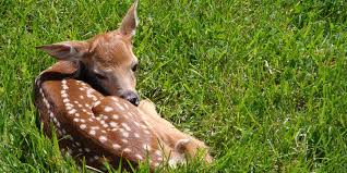 this baby deer really loves belly rubs the daily dot
