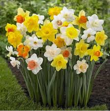 mixed daffodil bulbs for sale bulk buy online wholesale uk
