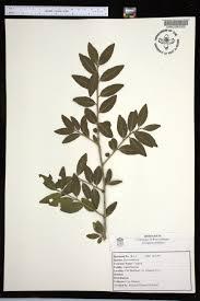 plants native to alabama ilex vomitoria species page apa alabama plant atlas