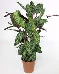 Types Of Indoor Plants Spathiphyllum Sensation Plant Identification Pinterest Plant