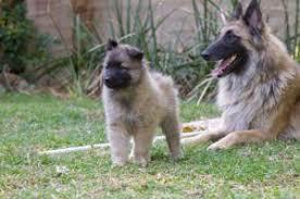 belgian shepherd breeders south africa shepherd puppies for sale botshabelo south africa free