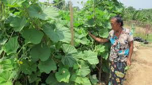a vegetable garden for bhutanese refugees in nepal u2013 world food
