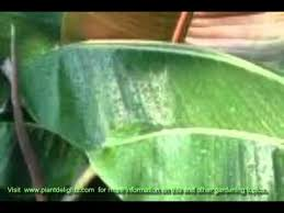 how to care for ornamental bananas musa musella ensete pests