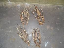 bats for sale hammerheads bats skeletons for sale sold welcome to the