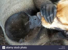 affenpinscher monkey dog dog monkey stock photos u0026 dog monkey stock images alamy