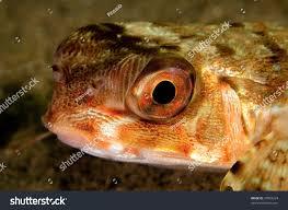 face dactylopterus volitans beatiful fish mediterranean stock
