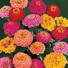 Zinnia Flowers Amazon Com California Super Giant Zinnia Flower Mix 200 Seeds