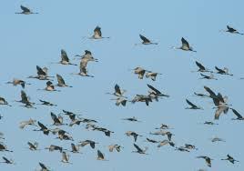 sandhill crane u0027s rebound in michigan opens hunt possibilities