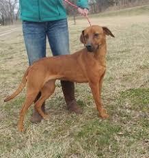 bluetick coonhound dog view ad bluetick coonhound redbone coonhound mix dog for adoption