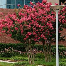 sioux crape myrtle cold hardy tree for sale fast growing trees