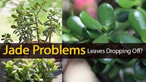 jade plant problems leaves dropping off