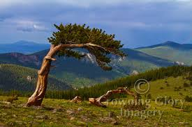 crowning imagery tree photographs rocky mountain