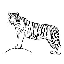 tiger simple drawing drawing art gallery