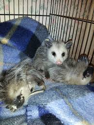 opossum the wildlife center at crosstimbers ranch official blog