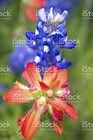 Bluebonnet Flowers - indian paintbrush and bluebonnet flowers in texas stock photo