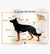 Dog Anatomy Poster Canine Anatomy Posters Redbubble
