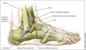 Anatomy Of The Calcaneus Beantown Physio Pt Tip Of The Month Archive Ankle Sprains