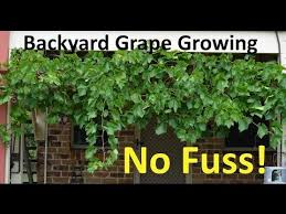Growing Grapes Trellis 1659 Best Grape Growing Images On Pinterest Grape Vines Growing
