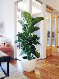 Low Light Indoor Trees House Interior Floor Color And Of Course A Fig Tree In A Modern