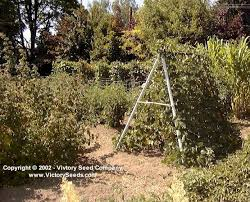 How To Grow Green Beans On A Trellis Bean Growing And Trellising Information From Victory Seeds