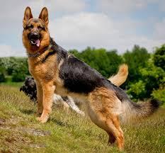 affenpinscher vs yorkshire terrier affenshire affenpinscher and yorkshire terrier mix appearance
