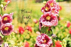 Hollyhock Flowers Inspired Seeds Of Joy Hollyhock Flowers Photograph By P S