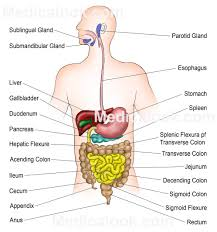 Picture Of The Abdomen Organs Digestive System Example Mindmeister