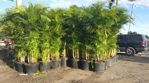 palm sunday palms for sale palm trees for sale in los angeles california