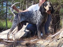 bluetick coonhound in florida champion bluetick coonhounds bluetick 1 kennels bluetick1kennels