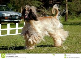 8 month old afghan hound afghan hound dog running stock photos image 20172003