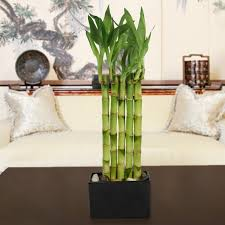 Bamboo Wall Vase Garden Wall Lucky Bamboo Bamboo Plants By Plant Type