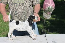 buy a bluetick coonhound puppy view ad bluetick coonhound puppy for sale texas college station