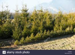 rows of christmas trees at a christmas tree farm in bethlehem new