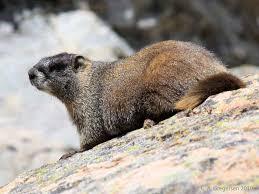 Utah wild animals images Alpine life zone mammals jpg
