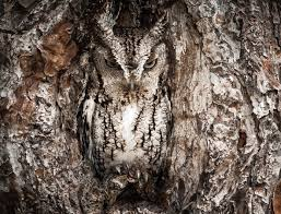 master of disguise owl barely visible nesting in tree aol uk travel