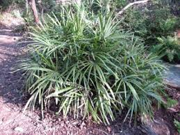 mediterranean fan palm tree mediterranean fan palm care tips for growing a mediterranean fan palm
