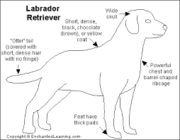 labrador retriever printout enchantedlearning