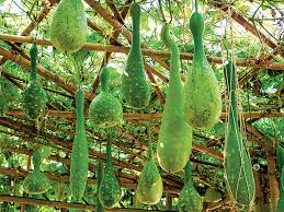 how to grow and the gourds