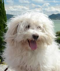 pets news tips u0026 guides glamour the maltese the happy puppy site