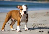 Pitbull Puppy Meme - new pitbull puppies training 50 photos sheslap com