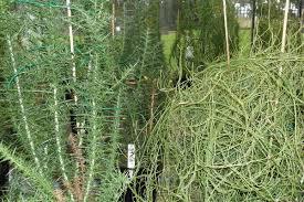 south australian native plants vampire vine helps to destroy alien european weeds in australia
