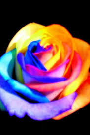 multicolor roses multicolor rainbow roses a gallery on flickr
