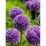 Flower Seeds Online - flower plants u0026 seeds amazon com